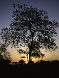 Tree at Sunset, South Africa Posters by Ryan Ross