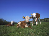 Hereford Cattle, Calves in Grass Meadow, UK Stampa fotografica di Mark Hamblin