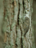 Goshawk, Peering from Between Trees Papier Photo par Mark Hamblin