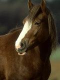 Horse, Chestnut & White Portrait Reprodukcja zdjęcia autor Mark Hamblin