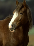 Horse, Chestnut & White Portrait Photographic Print by Mark Hamblin