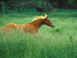 Young Stallion Runs Through a Meadow of Tall Grass, Montana, USA Photographic Print by Gayle Harper