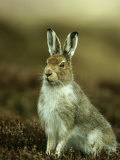 Mountain Hare, Adult in Spring, Scotland Photographic Print by Mark Hamblin