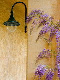 Wisteria Growing at St. Francis Vineyards and Winery, Sonoma Valley, California, USA Photographic Print by Julie Eggers