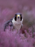Peregrine Falcon, Falco Peregrinus Male Amongst Heather Photographic Print by Mark Hamblin