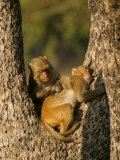 Rhesus Macaques, Pair of Macaques in Tree, Bandhavgarh, India Photographic Print by Elliot Neep