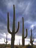 Saguaro Cactus, Backlit, AZ Photographic Print by Adam Jones