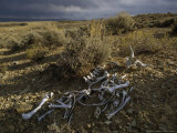 Pronghorn Antelope Bones near the Green River in Wyoming Photographic Print by Phil Schermeister