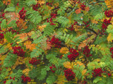 Rowan (Mountain Ash), Sorbus Aucuparia Photographic Print by Mark Hamblin
