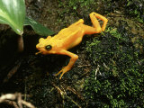 Panama Golden Frog, Panama, El Valle Photographic Print by David M. Dennis
