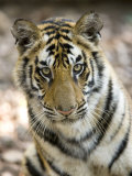 Bengal Tiger, Close-up Portrait of Female Tiger, Madhya Pradesh, India Photographic Print by Elliot Neep