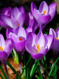 Crocus, Reading, Massachusetts Photographie par Lisa S. Engelbrecht