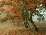 Japanese Maple, November, UK Photographic Print by Ian West