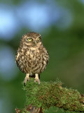 Little Owl, Perched on Mossy Branch, UK Photographic Print by Mark Hamblin