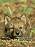 Grey Wolf, Pup at Den in Spring Photographic Print
