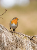 Robin, Perched on Dead Pine Branch, Lancashire, UK Photographic Print by Elliot Neep