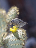 Cactus Finch, Feeding on Opuntia Cactus Blossoms, Santa Cruz Island, Galapagos Photographic Print by Mark Jones