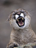 Mountain Lion, Portrait of Snarling Adult Photographic Print