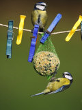 Blue Tits, Feeding on Feeder Reproduction photographique par Mark Hamblin