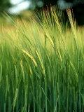 Barley in Summer, Scotland Photographie par Iain Sarjeant