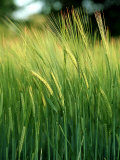 Barley in Summer, Scotland Photographic Print by Iain Sarjeant