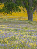 Lone Oak and Spring Wildflowers, San Luis Obispo County, California, USA Stampa fotografica di Terry Eggers