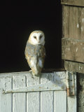 Barn Owl, Tyto Alba Adult Perched on Stable Door, Scotland Cairngorms National Park, Scotland Photographic Print by Mark Hamblin