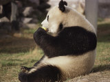 Panda Bear Sitting and Eating, Tianjin, China Photographic Print by Todd Gipstein