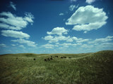 Small Herd of Bison Graze Native Grasses on a Nebraska Prairie Photographic Print by James P. Blair