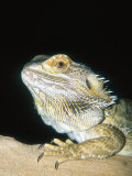 Bearded Dragon, Aquarium Animal Photographic Print by Stan Osolinski