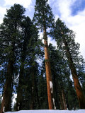 Sequoias, Sequoia National Park, USA Photographic Print by Mark Hamblin