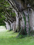 Beech Trees at Badbury Rings, UK Photographic Print by David Clapp