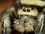 Jumping Spider, Phidippus Audax Florida, Ocala National Forest Photographic Print by David M. Dennis