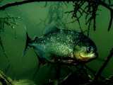 Piranha, Serrasalmus Natteri Photographie par Rodger Jackman