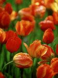 Raindrops on Tulips, Desconso Gardens, Los Angeles, California Photographic Print by Adam Jones