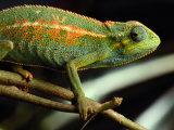 Chameleon, Virunga Volcanoes National Park, Zaire Photographic Print by Michael Nichols