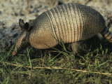 Nine-Banded Armadillo, Melbourne, Florida Photographic Print by Bianca Lavies