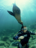 Diver with Californian Sea Lion, Mexico Stampa fotografica di Tobias Bernhard