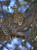 Leopard, Resting in Tree, Southern Africa Photographic Print by Mark Hamblin