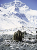 Yak in Front of Mount Everest Photographic Print by Michael Brown