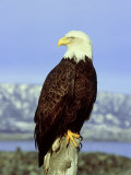 Bald Eagle on Post, USA Lámina fotográfica por David Tipling