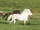 Icelandic Horses Running Across Meadow, Iceland Photographic Print by Mark Hamblin
