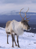 Reindeer, Standing in Snow in Winter, Scotland Photographic Print by Mark Hamblin