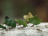 Leaf-Cutter Ants near Sao Gabriel, Amazon River Basin, Brazil Photographic Print by James P. Blair