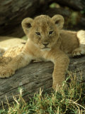 Lion, Panthera Leo 6 Week Old Cub Masai Mara, Kenya Fotografie-Druck von Adam Jones