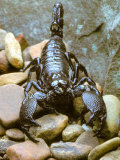 Scorpion Photographic Print by David M. Dennis
