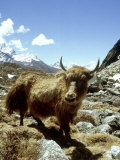 Domestic Yak, Khumbu Everest Region, Nepal Photographic Print by Paul Franklin