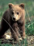 Grizzly Bear Cub in Alpine Meadow near Highway Pass, Denali National Park, Alaska Photographic Print by Paul Souders