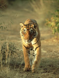 Bengal Tiger, 24 Month Male, India Photographic Print by Mike Powles
