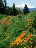Poppies on Hillside with Mount Hood Near Hood River, Oregon Photographic Print by Adam Jones
